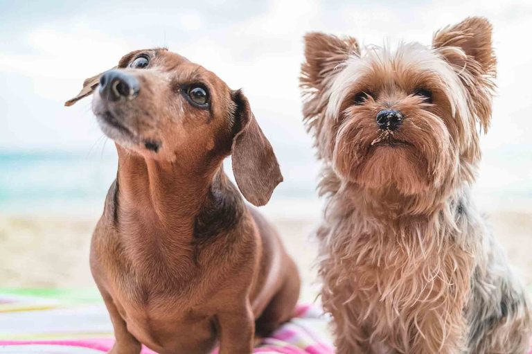 Memphis Photographer two dogs Yorkie and Doxie